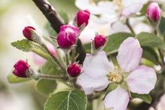 Frühling blüht schöne Blumen auf Birnenbaum in der Natur Lizenzfreies Stockbild
