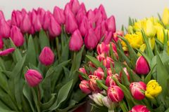 Frühling blüht Tulpen Stockfotos