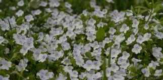 Frühling blüht Veronica Lizenzfreies Stockfoto