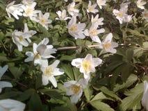 Frühling blüht Weiß Lizenzfreie Stockbilder