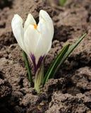 Frühling blüht - weißen Krokus im Garten, Hintergrund Lizenzfreies Stockfoto