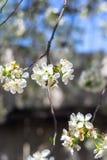 Frühling blühte Bäume Lizenzfreie Stockfotografie