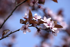 Frühling - Blüte auf Busch Stockfoto