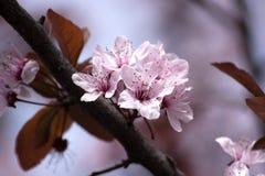 Frühling - Blüte auf Busch Lizenzfreies Stockbild