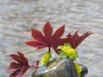 Frühling, Burgunder-Blätter und gelbe Blumen Lizenzfreie Stockbilder