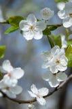Frühling Cherry Blossom Lizenzfreie Stockfotografie