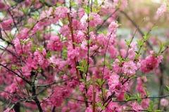 Frühling Cherry Blossom Stockbild
