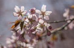 Frühling Cherry Blossoms Stockfoto