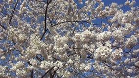 Frühling Cherry Blossoms stock video