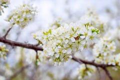 Frühling crabapple blüht nah auf einer Niederlassung stockbilder