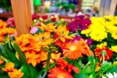 Frühling, der in dem Garten-Center blüht Stockbild