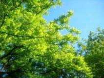 Frühling, der Treetop der Akazie nochmals besucht Lizenzfreie Stockbilder