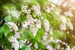 Frühling Die Blütezeit der Flieder Schöne lila Blumen und Grünblätter im Garten lizenzfreie stockfotos