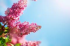 Frühling Die Blütezeit der Flieder Schöne lila Blumen und Grünblätter im Garten stockbild