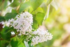 Frühling Die Blütezeit der Flieder Schöne lila Blumen und Grünblätter im Garten stockfoto