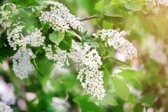 Frühling Die Blütezeit der Flieder Schöne lila Blumen und Grünblätter im Garten stockbilder