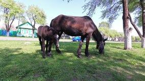 Frühling ein Pferd mit einem Fohlen, das im Dorf weiden lässt stock footage