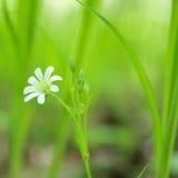 Frühling. Einsame Blume. Lizenzfreie Stockfotografie
