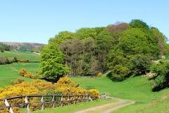 Frühling färbt gelben Stechginster der grünen Bäume der Landschaft Lizenzfreie Stockbilder