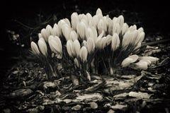 Frühling farbige Krokusse Stockfotografie