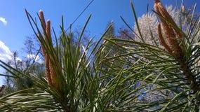 Frühling Große Kiefer auf einem Hintergrund des blauen Himmels Stockbild