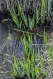 Frühling hält Irisgarten im Wasser auf Stockbild