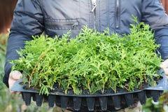 Frühling hat gekommenes Konzept Gärtner, der Thuja-Bleistift Zypresse für das grüne Fechten, Hecke hält stockbild