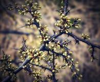 Frühling hat nicht blühende Schlehdornzweige Stockbild