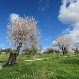 Frühling, heller blauer Himmel, Mandelbäume im Februar in Europa, por Lizenzfreies Stockfoto