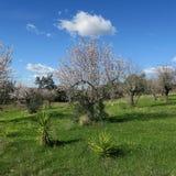 Frühling, heller blauer Himmel, Mandelbäume im Februar in Europa, por Lizenzfreie Stockfotografie