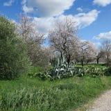 Frühling, heller blauer Himmel, Mandelbäume im Februar in Europa, por Stockfotos