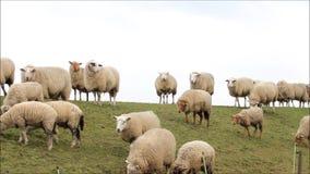 Frühling, Herde von weißen Schafen auf Graben stock video footage