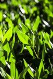 Frühling Hintergrund der frischen grünen Blätter Lizenzfreie Stockfotografie