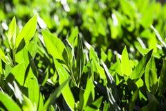 Frühling Hintergrund der frischen grünen Blätter Stockbild