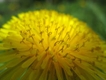 Frühling Hintergrundlöwenzahn Staubgefässe Stockfoto