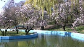 Frühling im Park. Kirschblüten und -weide stock video