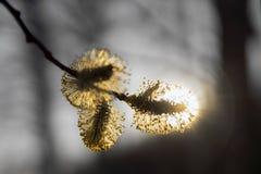 Frühling im Wald - geblühte Weide Lizenzfreie Stockbilder