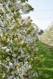 Frühling ist in der Luft: blühende Obstbäume in einem Obstgarten Stockbild