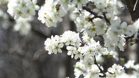 Frühling ist der Zeitpunkt der Blüte Honey Time stock video