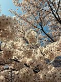 Frühling ist, Kirschblüte gekommen lizenzfreies stockbild