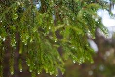 Frühling kam Frühling in den Waldfichtenzweigen in den Tröpfchen des schmelzenden Schnees stockfotografie