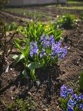 Frühling kam und Frühlingsblumen wachsen lizenzfreie stockfotos