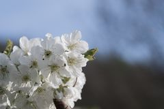 Frühling, Kirschblüten Stockfotos