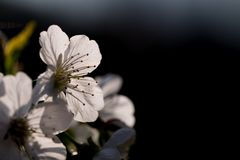 Frühling, Kirschblüten Stockbilder