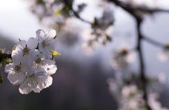 Frühling, Kirschblüten Lizenzfreie Stockfotografie