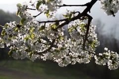 Frühling, Kirschblüten Stockbild