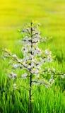 Frühling Kleine Baumnahaufnahmeblüten blüht Kirsche gegen ein Blaues Stockbilder