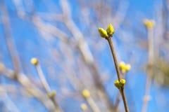 Frühling knospt auf einem Hintergrund des Himmels Stockfoto