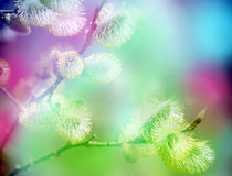 Frühling knospt Pussyweide Frühlingsharmonie Stockfoto