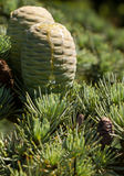Frühling männlicher Strobile mit Harz Lizenzfreie Stockfotos
